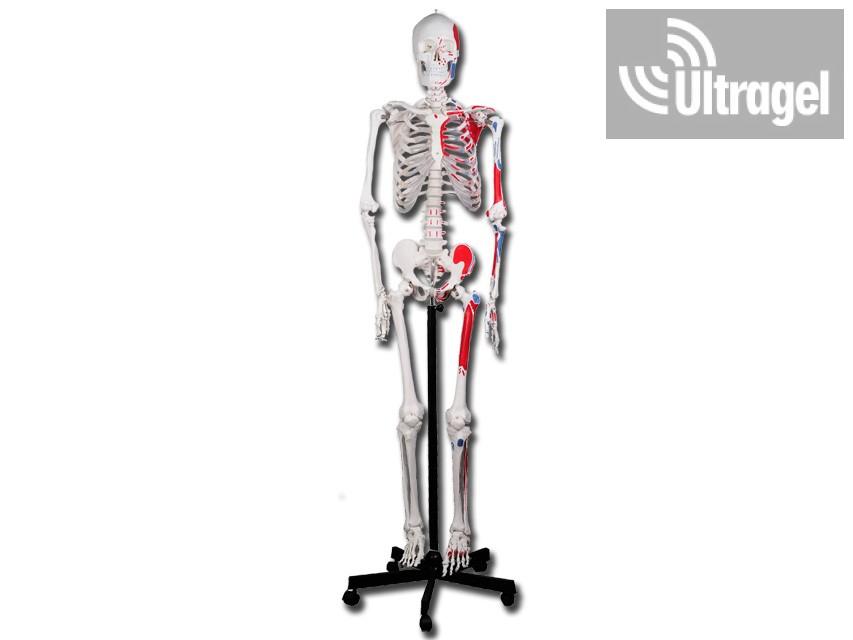 Emberi izom és csontváz modell