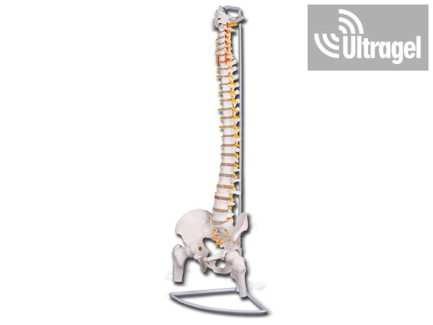 Flexibilis gerinc modell combcsontokkal
