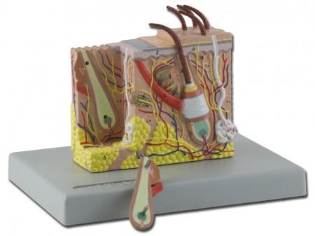 Anatómiai modellek