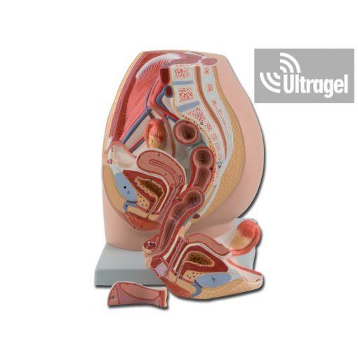 Anatómiai modell női medence - 3 részes