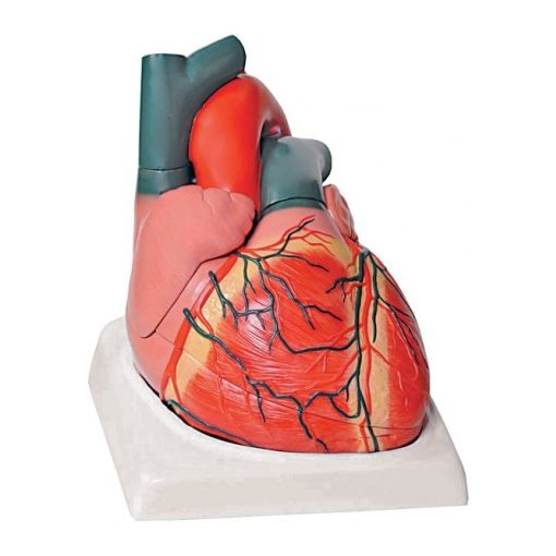 Anatómiai modell szív